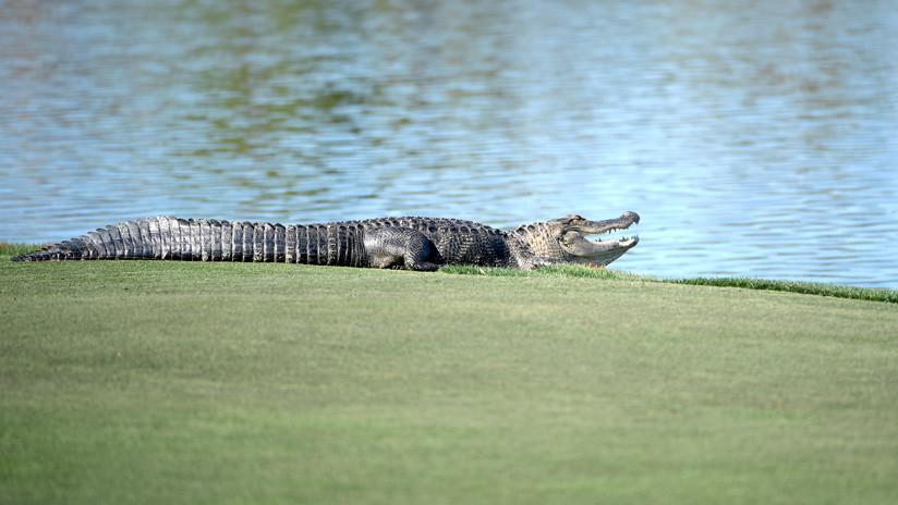 Caimán irrumpe en un torneo de golf en Florida y roba una bola