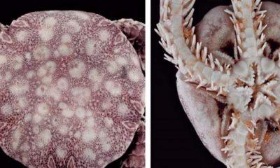 Cientificos-hallan-en-isla-mexicana-de-Cozumel-nueva-especie-de-equinodermo-1024x550