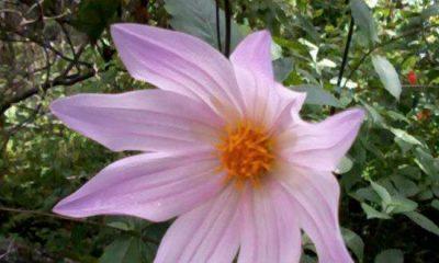 1ce49618-dalia-una-flor-contra-2008466